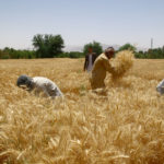 AFGHANISTAN-BALKH-WHEAT-HARVEST